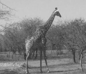 2019 01 CTM News giraffe
